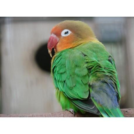 Sexaje de aves