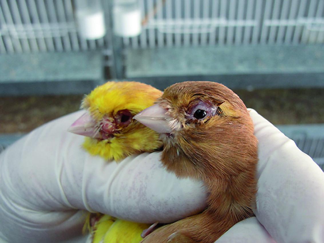 canarios Phaeo con Viruela aviar
